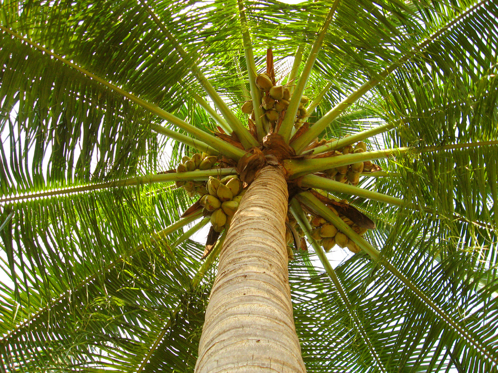 Main-image---1----coconut_tree_by_asramnath