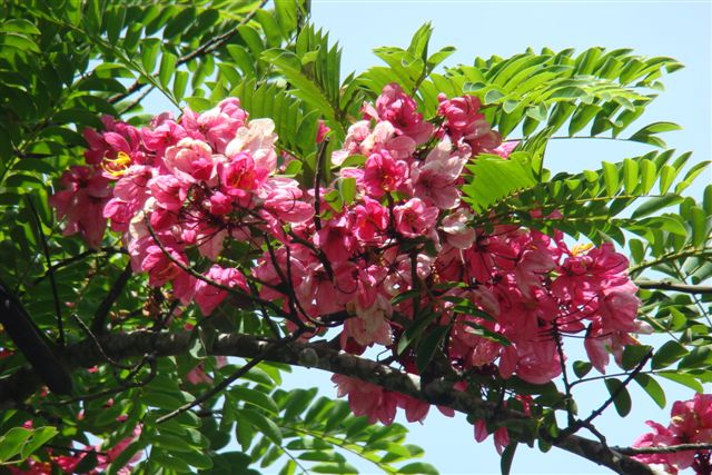 Main-image-4----pink-cassia-enroute-to-marayoor-kerala