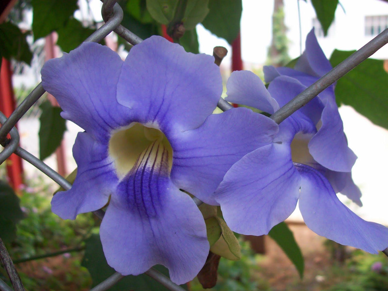 Flowering shrubs and vines blue trumpet vine izmirmasajfo