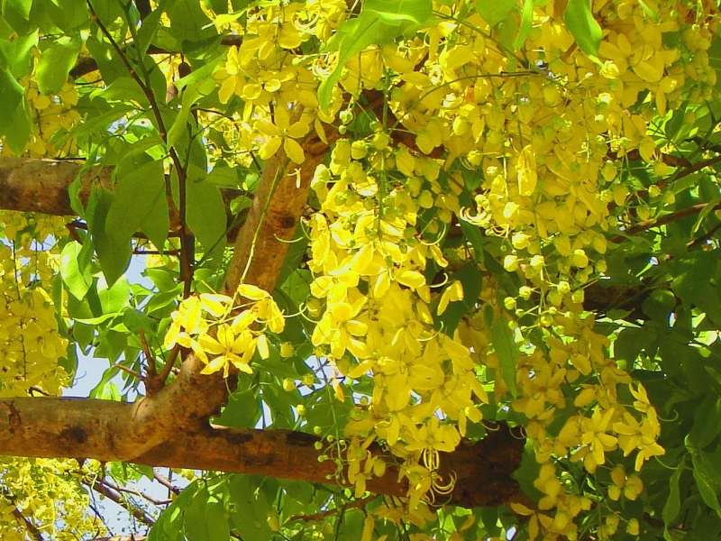 Cassia Golden Shower Tree.jpg