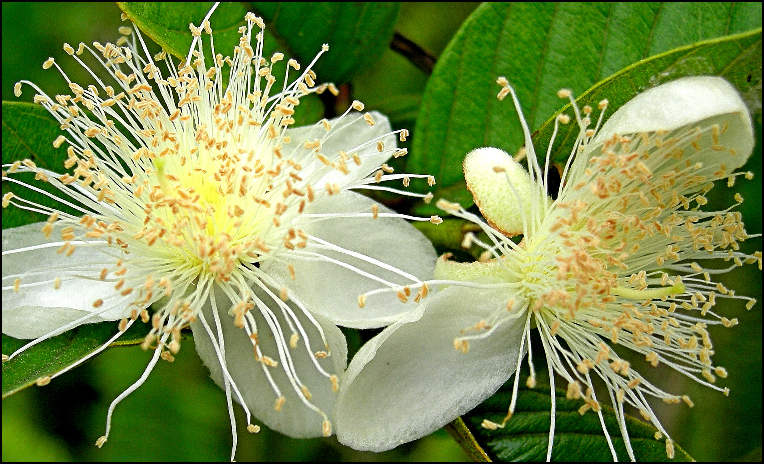 Guava flower 2.jpg_product_product