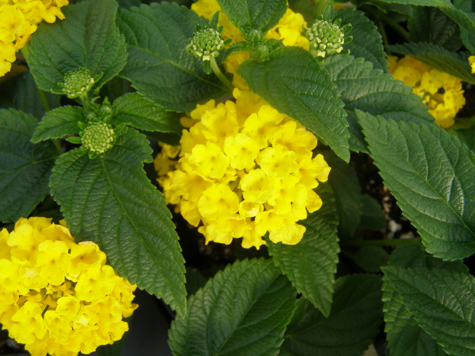 Flowering Shrubs And Vines Lantana Assorted Colors Water Saver