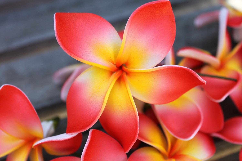 Flowering Shrubs and Vines : Plumeria - Buy one, get one FREE