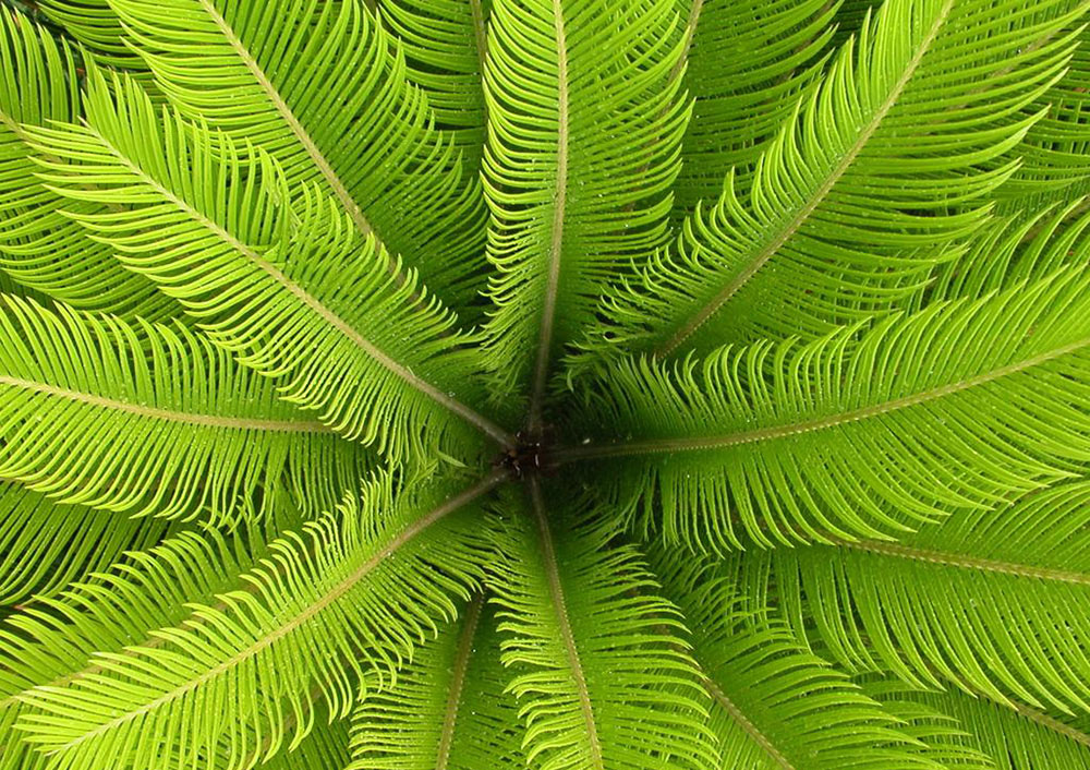 Sago-Palm_35153.jpg_product