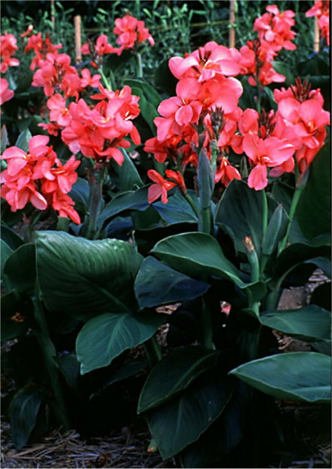 Flowering Shrubs And Vines Canna 3 Plants