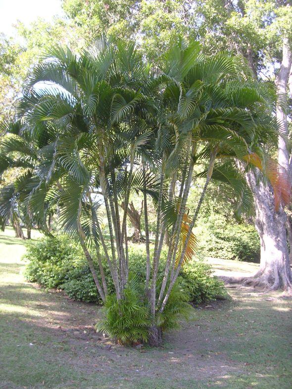 tropical palms areca palm