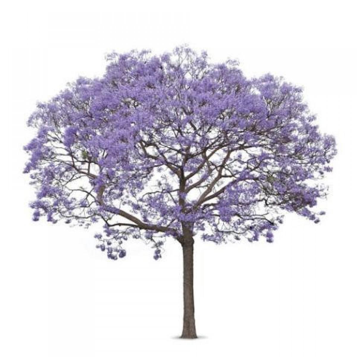 Stunning Shade Trees Jacaranda Flowering Tree Large