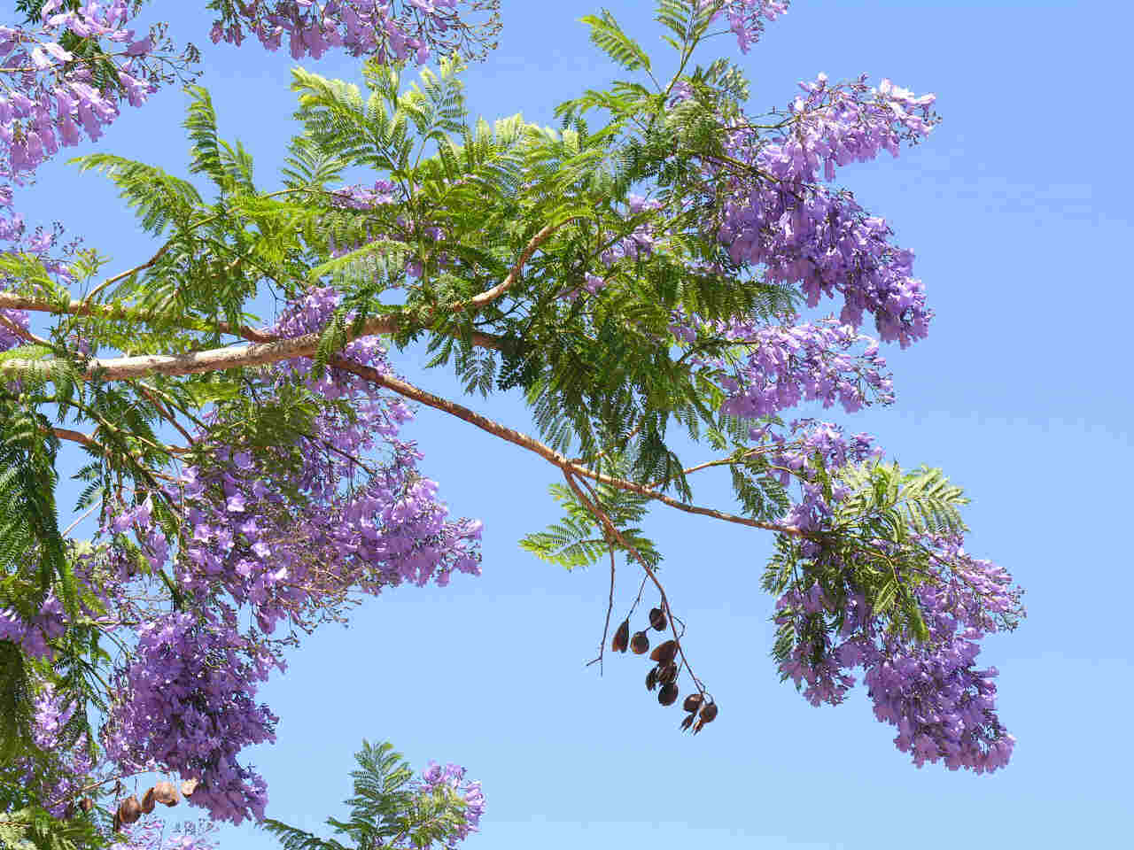 Stunning shade trees jacaranda flowering tree large jacaranda2gproduct izmirmasajfo