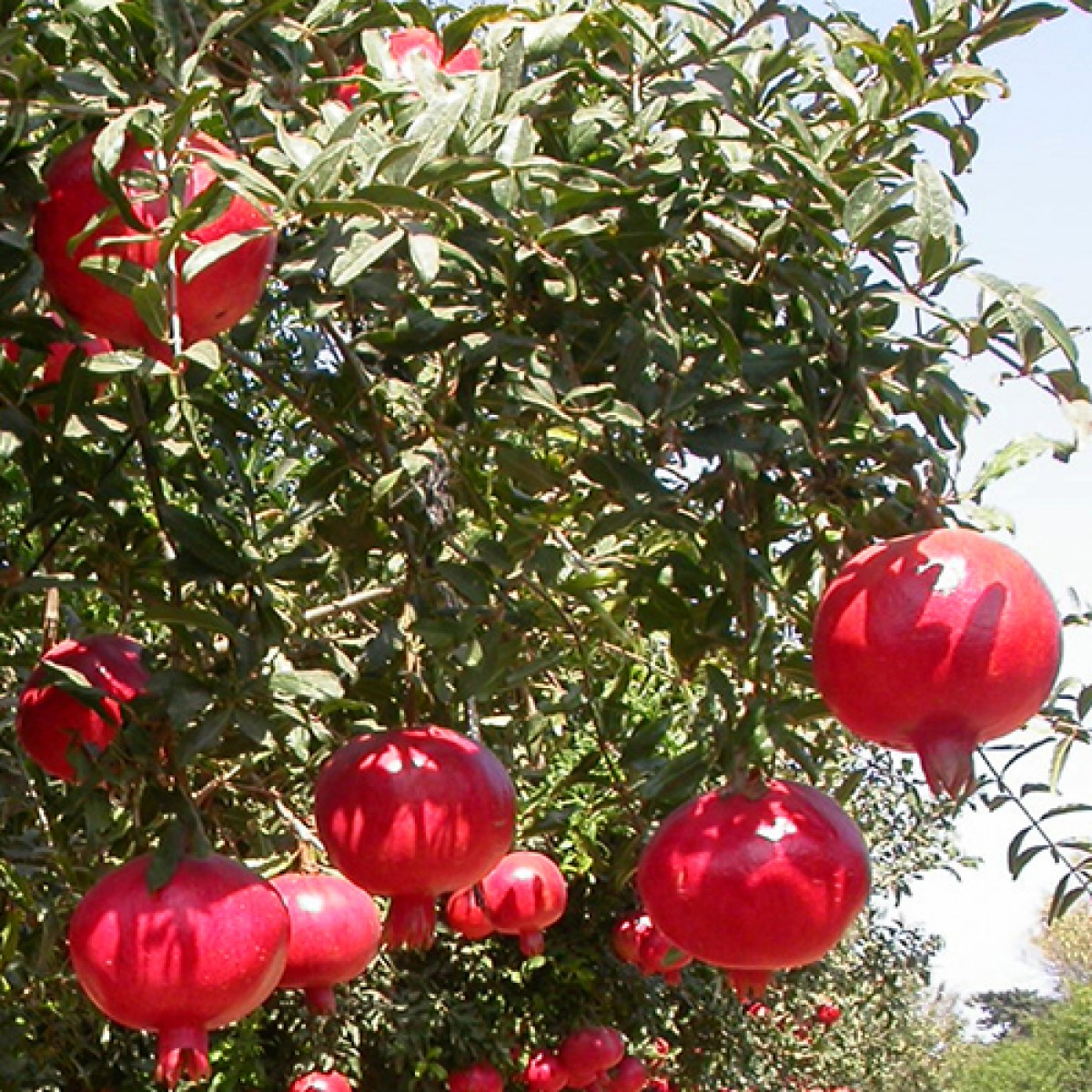 Exotic Fruit Trees : Seedless Pomegranates on orange tree garden, peach tree garden, apple tree garden, tea tree garden, orchard tree garden, peony tree garden, guava tree garden, rose tree garden, grape tree garden, olive tree garden, fruit tree garden, cherry tree garden, japanese maple tree garden, pine tree garden, white tree garden, pepper tree garden, coconut tree garden, mango tree garden, lilac tree garden, raspberry tree garden,