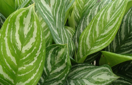 Aglonema-Stripes - 1