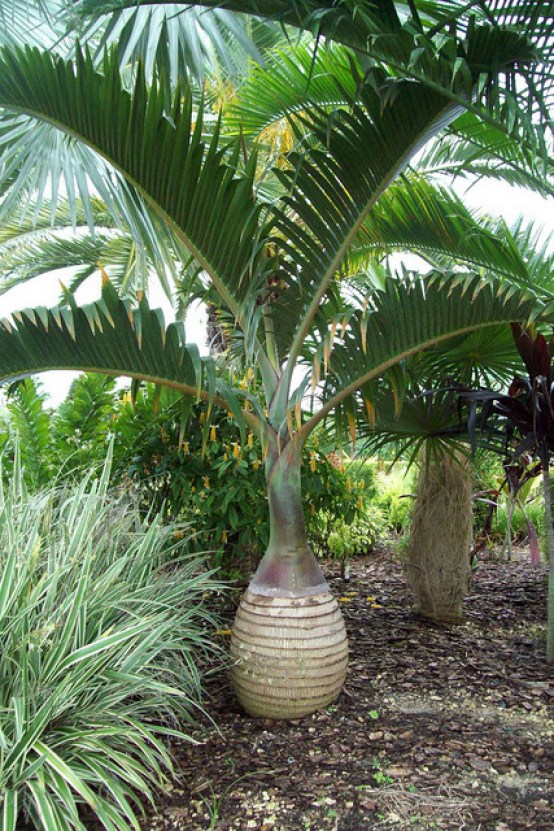 Bottle Palm 2