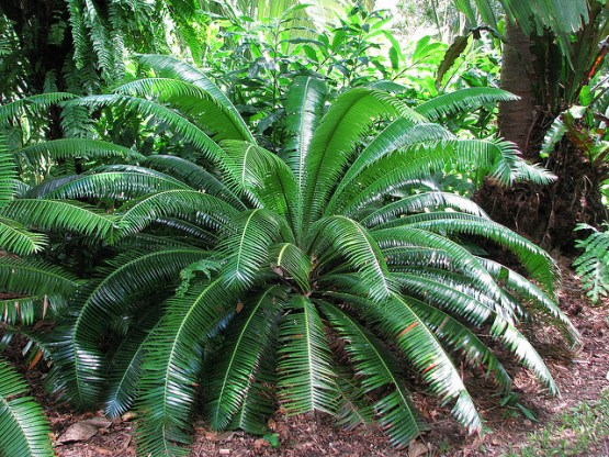 Dioon Palm 3