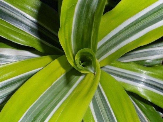 Dracaena - Lemon Lime