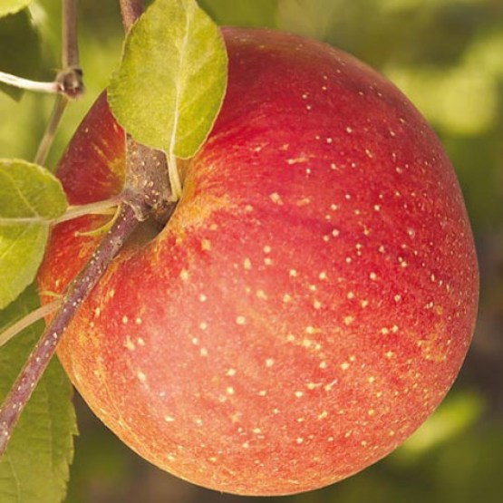 Fuji Apple tree 2