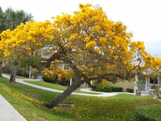 Gold Tree - Tabebuia_caraiba