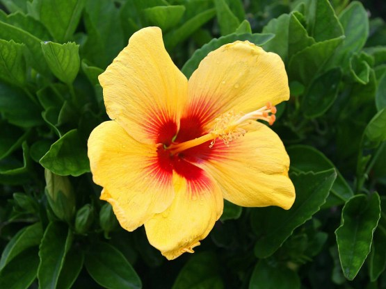 Hedge yellow hibiscus