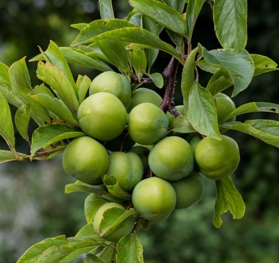 Persian-Green-Plum