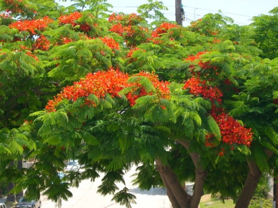 Royal Poinciana 3