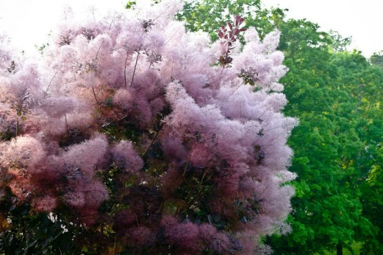 Smoke Shrub