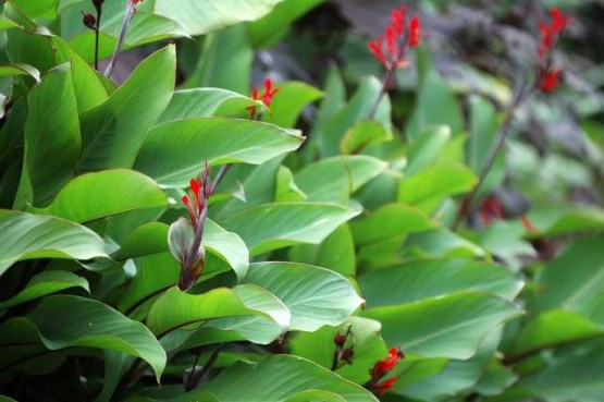 Tropical Shrubs - canna 1