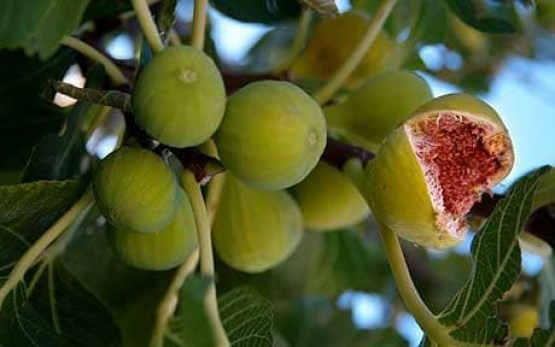 Turkish Figs 1