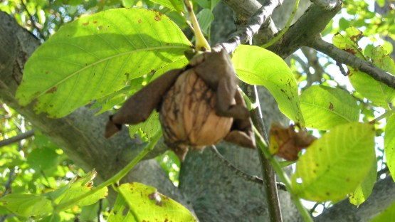 Walnut Tree 2