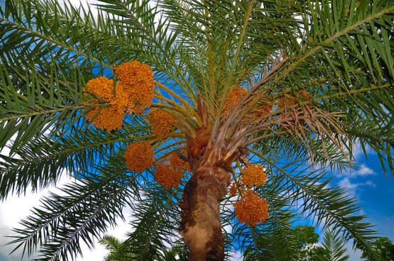 datepalmfruit