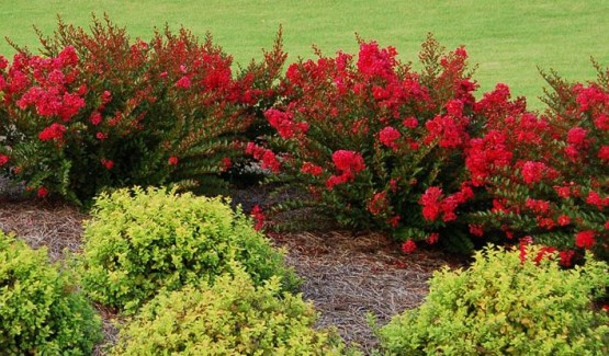 flowering shrubs and vines  dwarf myrtle   colors, Natural flower
