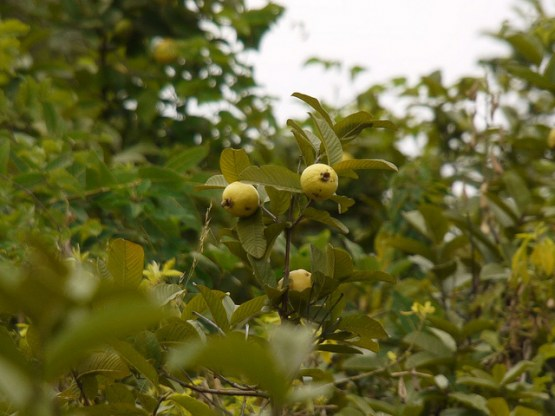 guava on tree 2