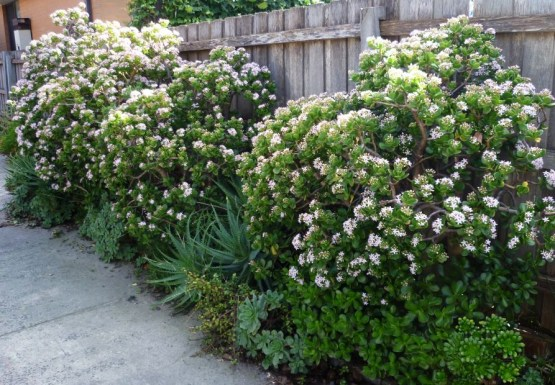 jade-plants as Hedge