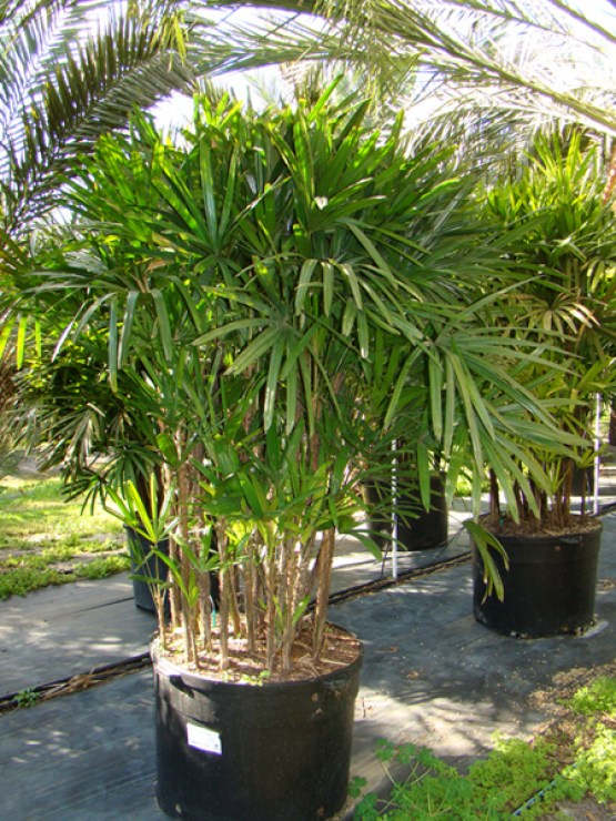 ladypalm in pot