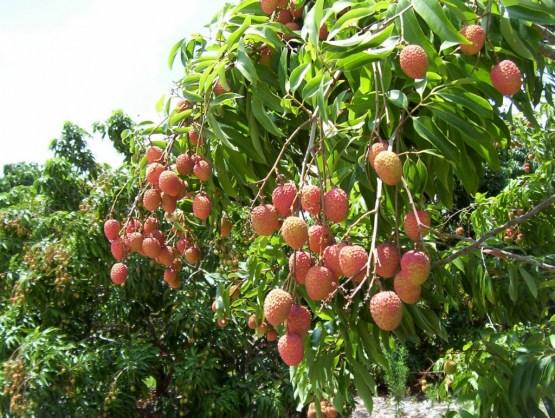 exotic fruit trees  lychee fruit tree, Beautiful flower