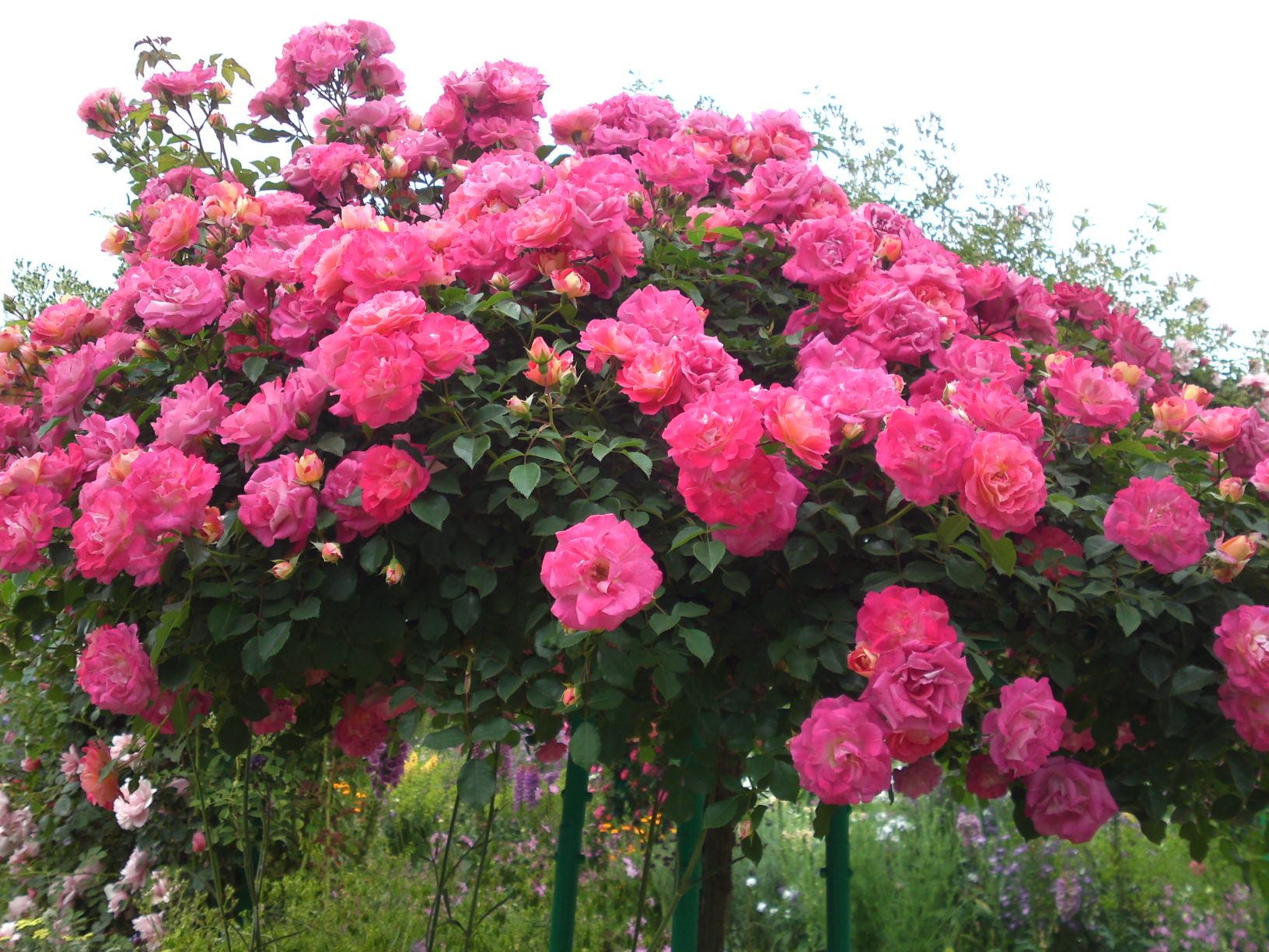 Flowering shrubs and vines rose full fragrance rose 1gproduct mightylinksfo