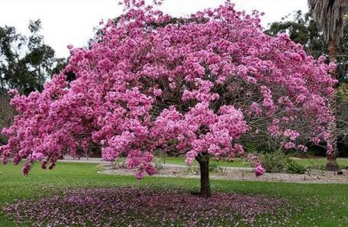 Stunning shade trees pink trumpet tree tabebuia purplegproduct mightylinksfo