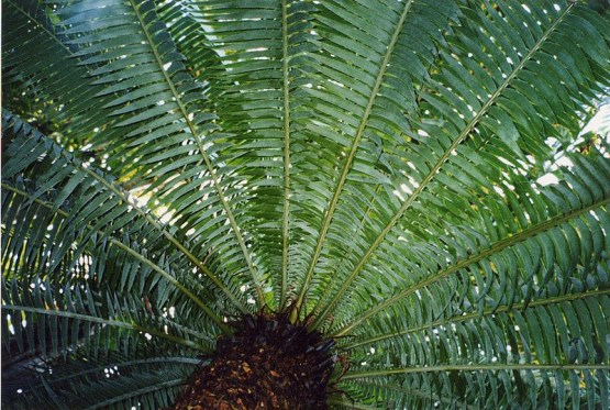 800px-Cycad_leaves_semicircle