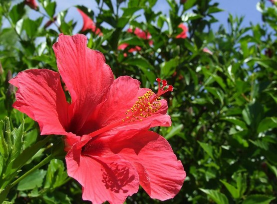 Hedge-hibiscus-1