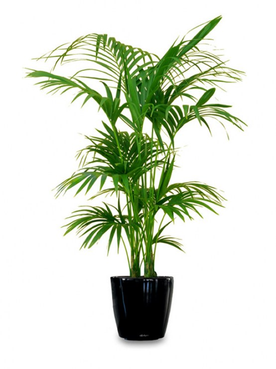 King-Palm - Indoor