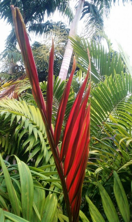 Red Feather Palm 3