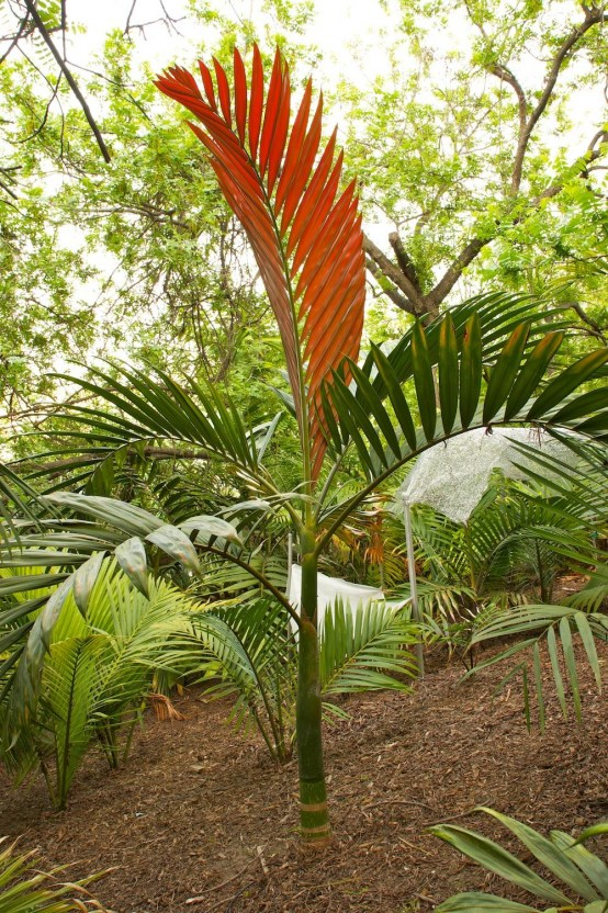 Red Feather Palm