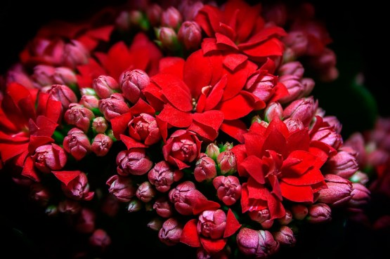 kalanchoe_flowers_ Red