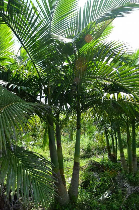 piccabeen-palm 3